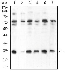 Figure 1:Western blot analysis using CBX5 mouse mAb against Hela (1), NIH/3T3 (2), K562 (3), MCF-7 (4), Jurkat (5), and A431 (6) cell lysate.