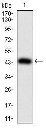 Mouse Monoclonal Antibody to TWIST2