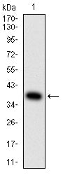 Mouse Monoclonal Antibody to AMY1A