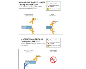 Mature BDNF/proBDNF Combo Rapid ELISA Kit: Human, Mouse, Rat