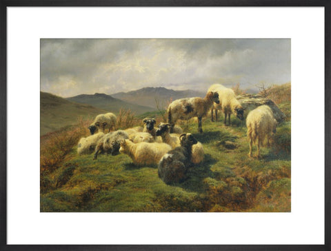 Sheep in the Highlands print