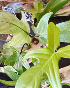 Philodendron Florida Ghosts - Live Plant