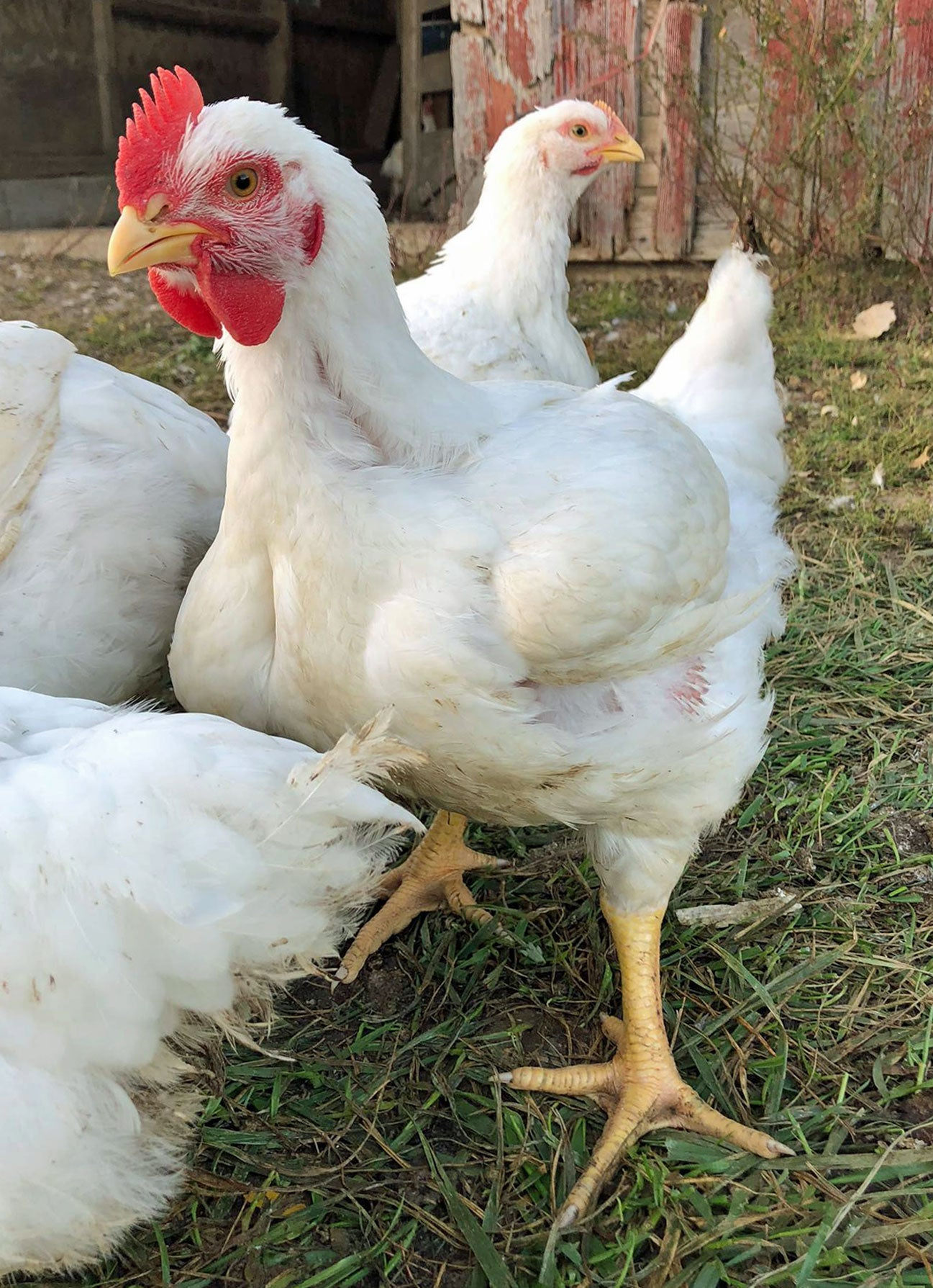 Little Red Farm Broiler Chicken Info and Care Instructions