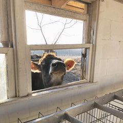 Even Be is checking out what's happening in the milking room for the new milking system!