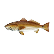 "7"" Redfish Sticker"