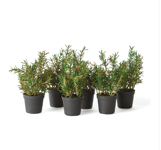 "From the mini growers pot to the tone and texture of each leaf, our herbs are 100% realistic. All that's missing is the maintenance.  Size: 6.5""h Pot: 2.5 x 2.5 x 2  Care & Use  Interior use only. Dust with dry cloth. Avoid moisture and direct sunlight."