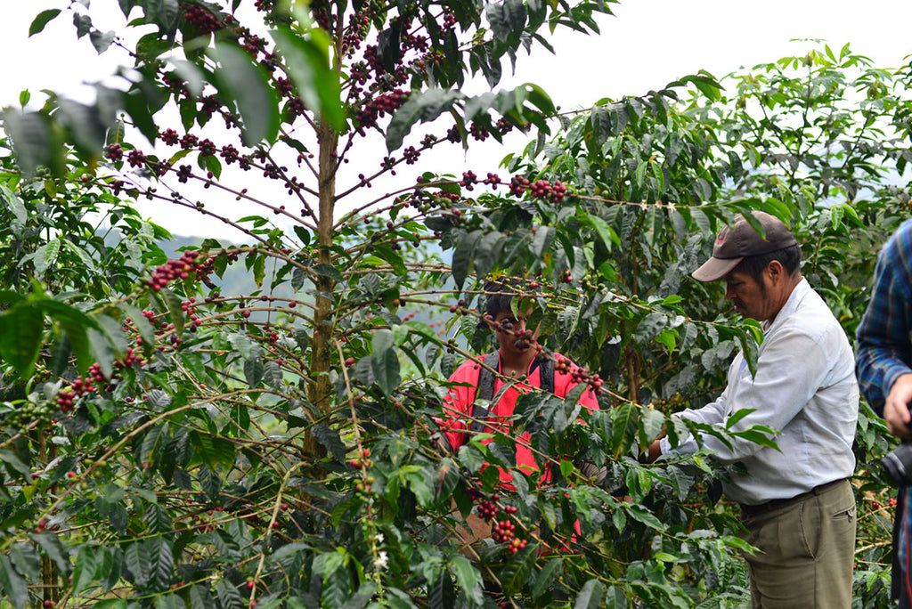 Selecting coffee cherries