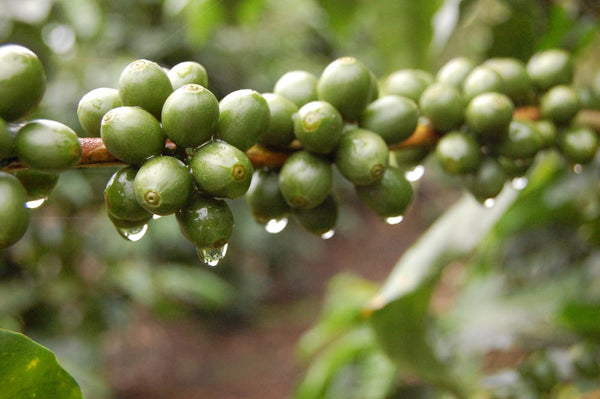 Unripened coffee cherries