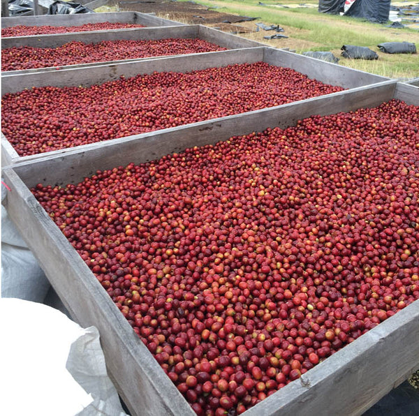 ripe, harvested coffee cherries