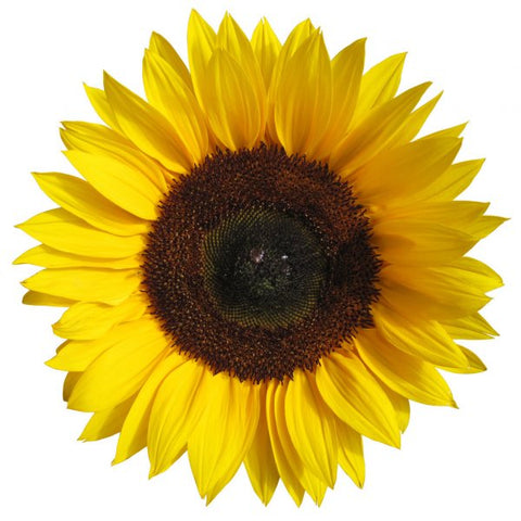 products/1sunflower-vector-548769.jpg