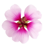 GERANIUM Essential Oil - 10 ml