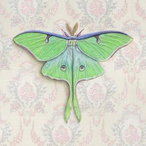 Luna Moth on pink