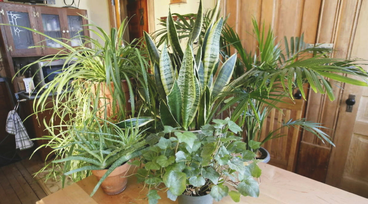 Not A Green Thumb? 3 Types of Household Plants Anyone Can Grow