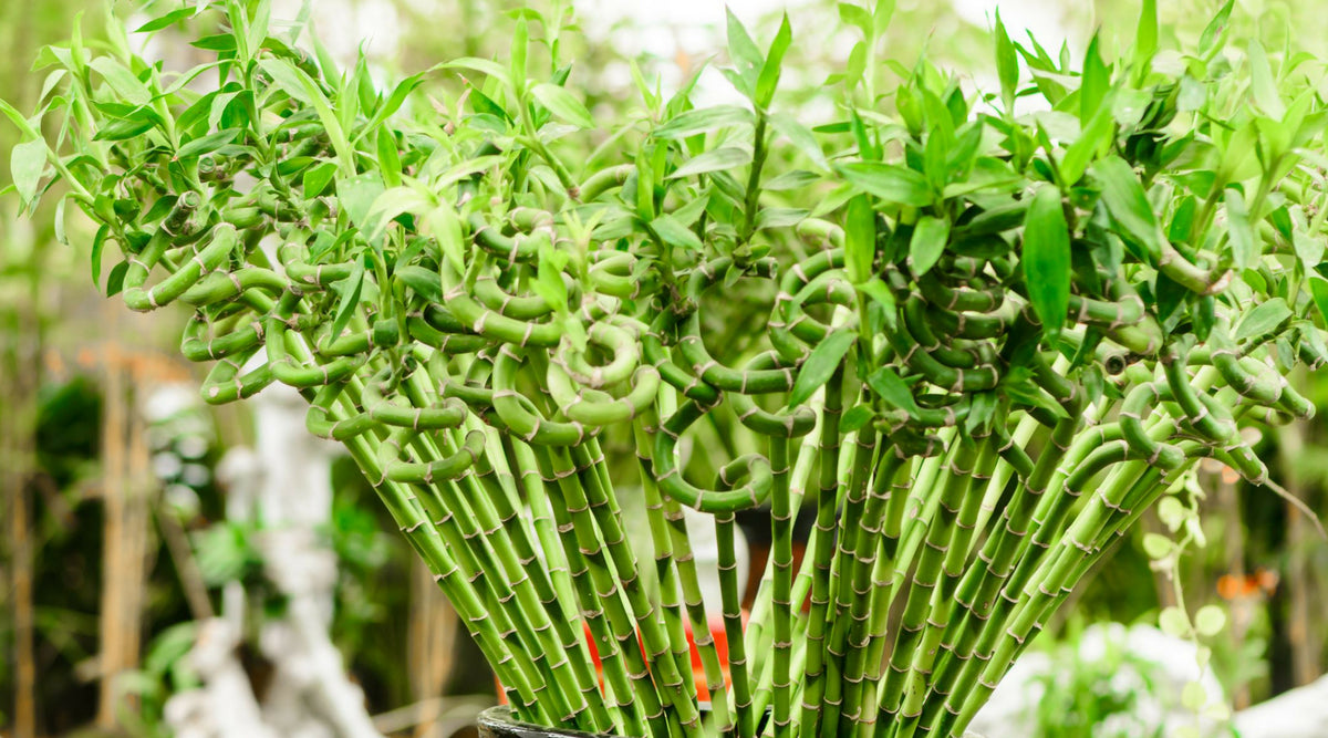 Why Do They Call It Lucky Bamboo? is It Really That Fortuitous?