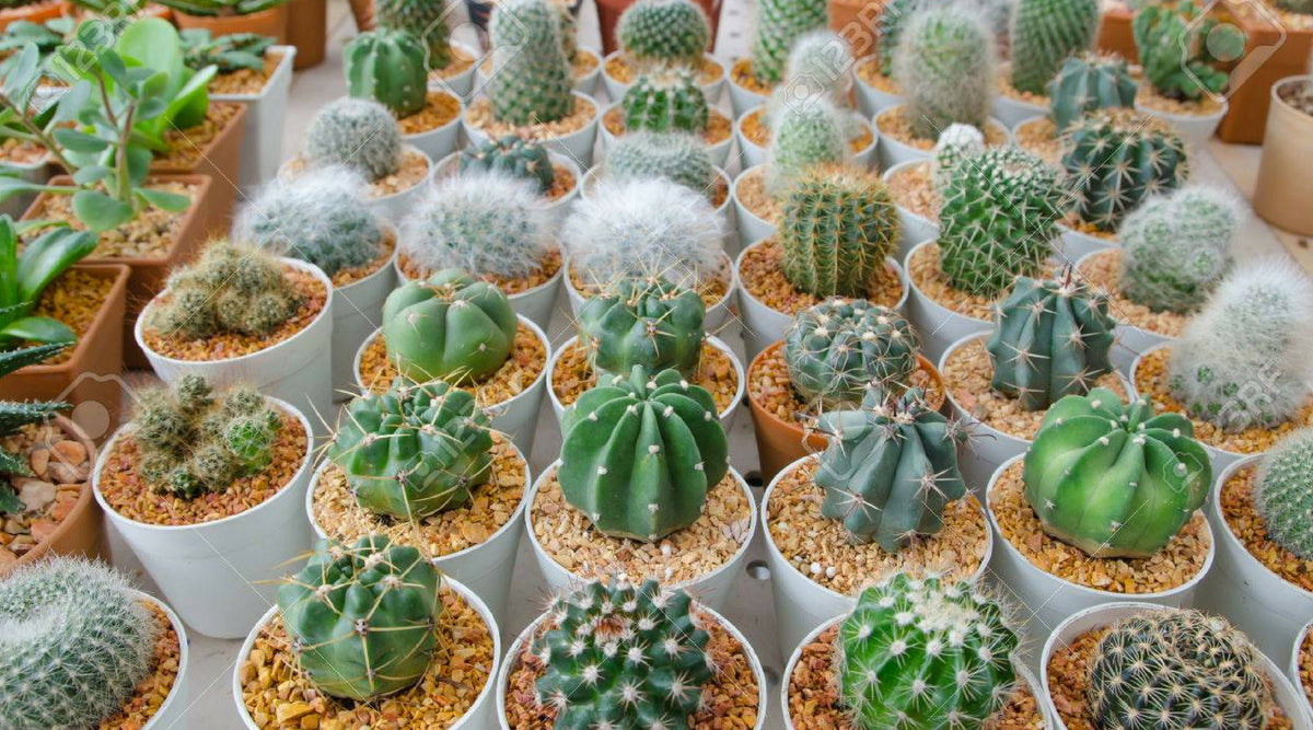 Introduction to Home Desert Cactus