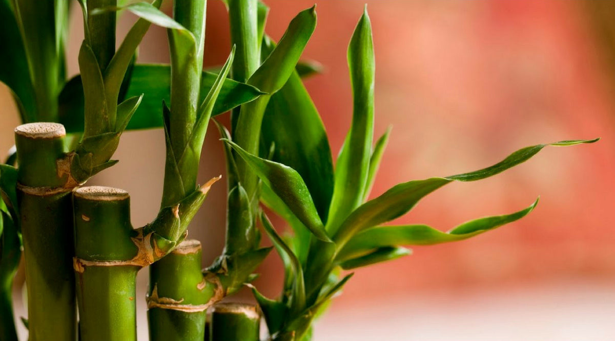 Lucky Bamboo Care Guide