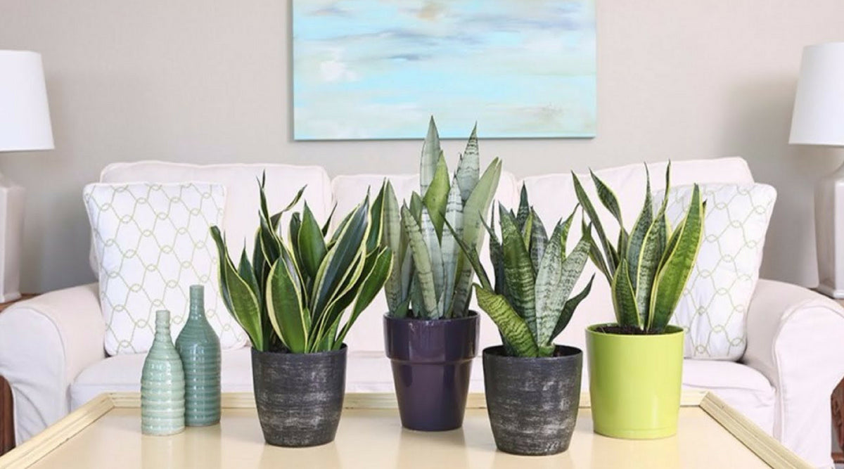 Sansevieria Plant Feng Shui the plant that looks like a snaket- 9greenboxt