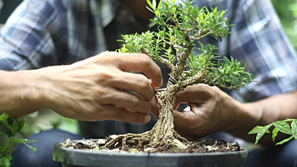 3 Tips On Taking Care of Bonsai Trees That You Need To Know