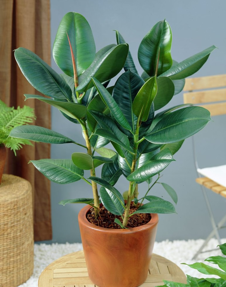9greenbox rubber plant