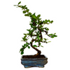 9GreenBox - Fukien Tea Bonsai, Medium - 9GreenBox
