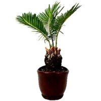 SAGO PALM Bonsai - 9GreenBox