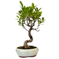 9GreenBox - Golden Gate Ficus Bonsai, Medium - 9GreenBox