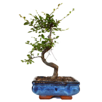 9GreenBox - Chinese Elm Bonsai, Medium - 9GreenBox