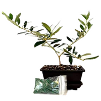 Olive Tree Bonsai with Water Tray and Fertilizer - 9GreenBox