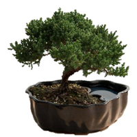 9GreenBox.com - Zen Reflections Juniper Bonsai - 9GreenBox