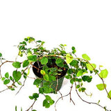 Creeping Fig Plant