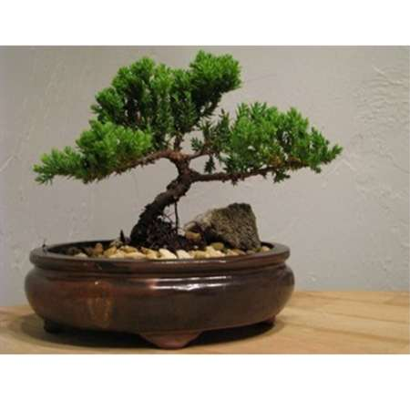 9GreenBox - Juniper Bonsai in Japanese Ceramic Pot - 9GreenBox