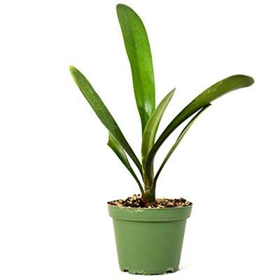 9GreenBox - Good Hope Clivia Plant - 4'' Pot - 9GreenBox