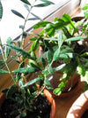 "9GreenBox - Olive Tree - 4"" Pot - 9GreenBox"