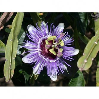 Edible Passion Vine Plant - Passiflora caerulea - Exotic! - 9GreenBox
