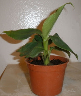 "Truly Tiny Musa Banana with 4"" Pot - 9GreenBox"