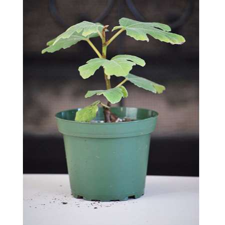 Hardy Chicago Edible Fig Plant - Ficus - Hardy - Potted - 9GreenBox