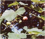 Hardy Chicago Edible Fig Plant - Ficus - Hardy - Potted