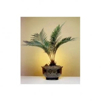9GreenBox -Sago Palm Bonsai Tree - Exotic Cycas Revoluta