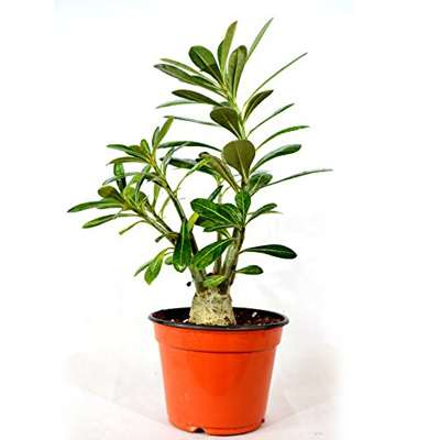 9GreenBox - Desert Rose Bonsai - 9GreenBox