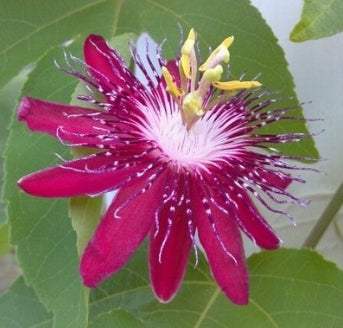 "Lady Margaret Passion Flower Plant - Passiflora - 4"" Pot - 9GreenBox"