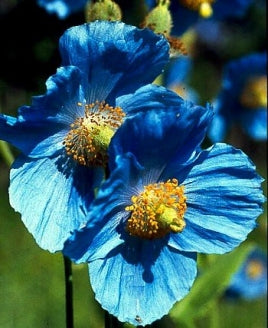 Himalayan Blue Poppy 20 Seeds - Meconopsis - 9GreenBox