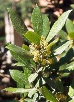 Bay Laurel Herb 5 Seeds - Laurus nobilis - 9GreenBox
