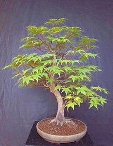 Japanese Maple 20 Seeds/Seed - ACER - BONSAI