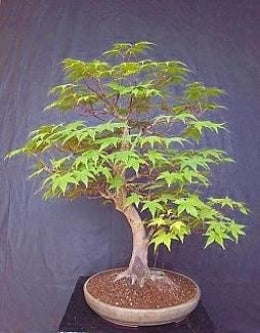 Japanese Maple 20 Seeds/Seed - ACER - BONSAI - 9GreenBox