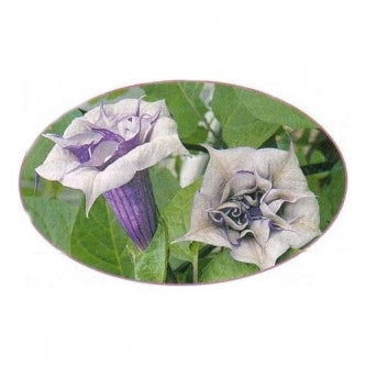 Double Lavender Angels Trumpet 6 Seeds Datura - 9GreenBox