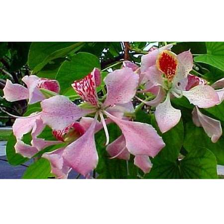 Pink Orchid Tree 10 Seeds - Bauhinia monandra