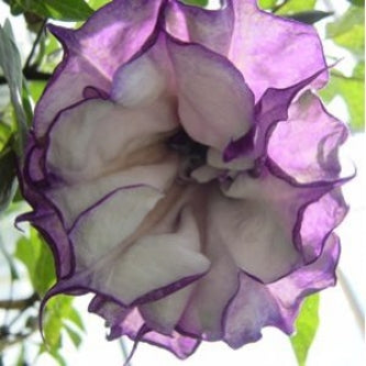 Black Angel Trumpet Datura-Gothic 10 Seeds/Seed - 9GreenBox