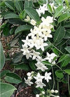 "Madagascar Jasmine Plant - Stephanotis - Bridal Wreath - 4"" Pot - 9GreenBox"