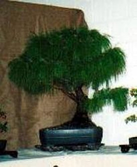 Mexican Weeping Pine 20 Seeds - Pinus patula - Bonsai - 9GreenBox