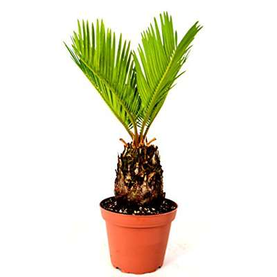 "Japanese Sago Palm - GREAT GIFT EASY TO GROW - 4"" pot - 9GreenBox"